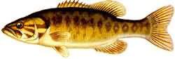 Одна из самых распространенных рыб в России – это окунь