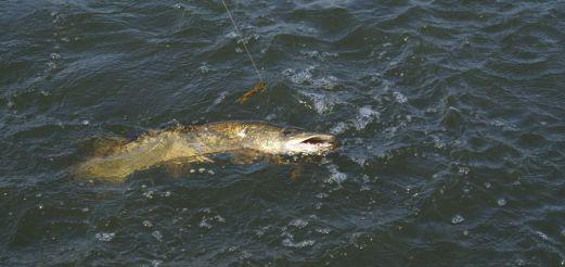 Рыбалка, подводная охота в Астрахани и на нижний Волге, а также…