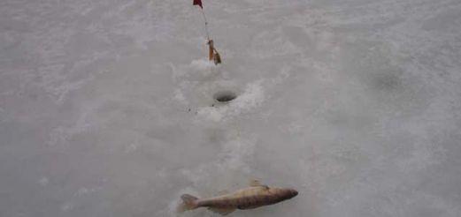 Жерлицы для зимней рыбалки (продолжение: Применяемые живцы)