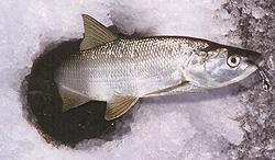 Довольно часто в литературе по рыбной ловле можно прочитать...