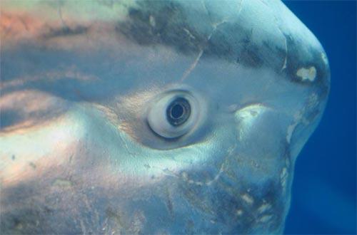 type:, atr:,, title:Глупая рыба-луна наводит ужас на рыбаков Южной Африки