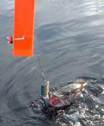 Троллинг - пешечком или как поймать щуку троллингом, но без лодки.
