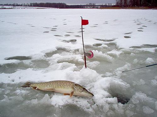 Жерлицы для зимней рыбалки (продолжение: Где и как ставить жерлицы?)