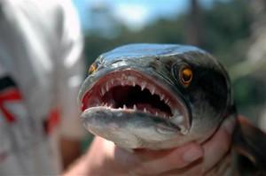 snakehead fish 2