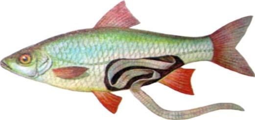 Болезни рыб, опасные для человека